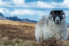 DSA Animal Kingdom 2015 Sheep