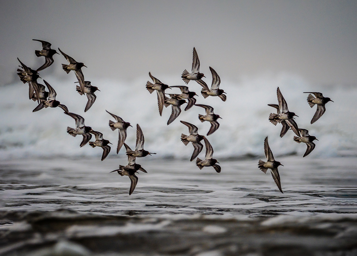 """Purple Sandpiper Flock"" by Maggie Bullock"